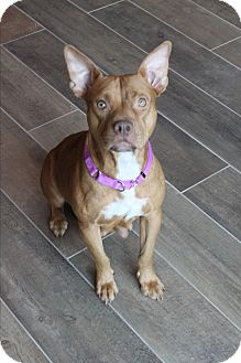 American Staffordshire Terrier Dog for adoption in Wellington, Florida - RUBY