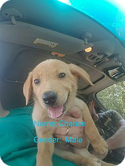 Retriever (Unknown Type) Mix Puppy for adoption in Ellaville, Georgia - Chance (adoption pending)