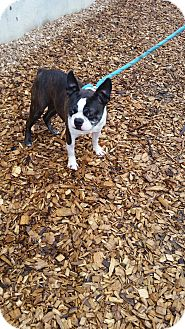 Boston Terrier Dog for adoption in Seattle, Washington - Katrina