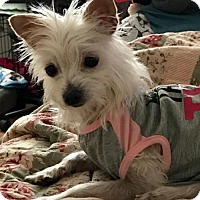 Chihuahua/Maltese Mix Dog for adoption in Bakersfield, California - Luna