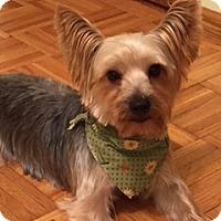 Adopt A Pet :: Odie - Schaumburg, IL