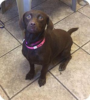 Beagle/Dachshund Mix Dog for adoption in Joplin, Missouri - Lucky 5346