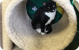 Domestic Shorthair Cat for adoption in Ada, Oklahoma - Katie