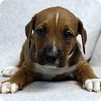 Adopt A Pet :: BRUTUS - Westminster, CO