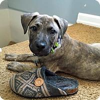 Adopt A Pet :: Hank - Troy, MI