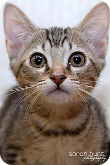 American Shorthair Kitten for adoption in Irvine, California - Barbie