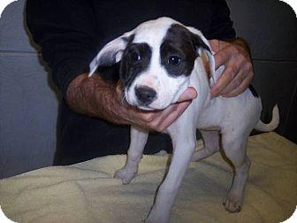 Labrador Retriever/Shepherd (Unknown Type) Mix Puppy for adoption in Germantown, Maryland - Tessa
