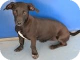 Dachshund Mix Dog for adoption in Mahopac, New York - Amanda