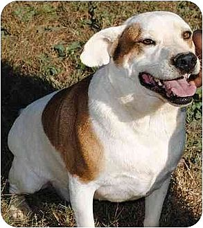 American Bulldog/Hound (Unknown Type) Mix Dog for adoption in Poland, Indiana - Gumpy