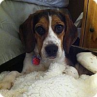 Adopt A Pet :: Sophie - Raritan, NJ