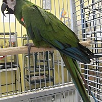Macaw for adoption in Edgerton, Wisconsin - Moe