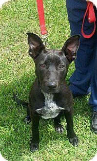 Blue Heeler/German Shepherd Dog Mix Dog for adoption in Beaumont, Texas - Dryden