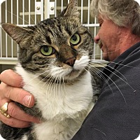 Domestic Shorthair Cat for adoption in Wantagh, New York - Lola