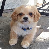 Adopt A Pet :: Desi - Brea, CA