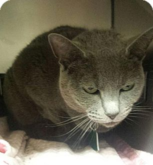Domestic Shorthair Cat for adoption in Herndon, Virginia - Zephyr
