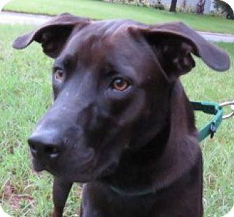 Dutch Shepherd/Labrador Retriever Mix Dog for adoption in St Petersburg, Florida - Barrett ~ Noble!