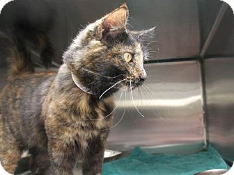 Domestic Mediumhair Cat for adoption in Hawthorne, California - Phoenix