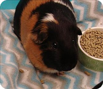 Guinea Pig for adoption in Raleigh, North Carolina - Logan