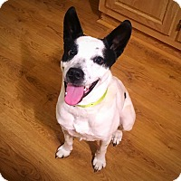 Adopt A Pet :: Cowboy - Silverdale, WA