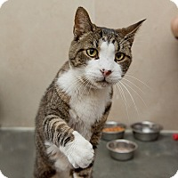 Domestic Shorthair Cat for adoption in Wilmington, Delaware - Mikey
