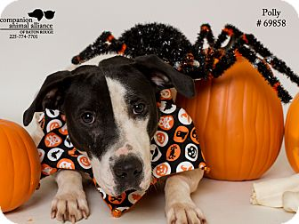 Pit Bull Terrier Mix Dog for adoption in Baton Rouge, Louisiana - Polly