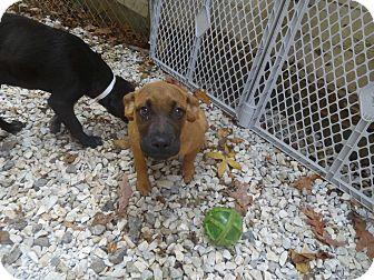 Labrador Retriever/Boxer Mix Puppy for adoption in Glastonbury, Connecticut - Cyla