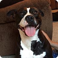 Boxer/Terrier (Unknown Type, Medium) Mix Dog for adoption in Fredericksburg, Virginia - Inova