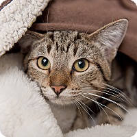 Domestic Mediumhair Cat for adoption in Wilmington, Delaware - Rizzo
