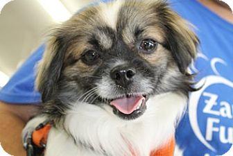 Japanese Chin/Pekingese Mix Dog for adoption in Westerly, Rhode Island - Topaz Peke Chin