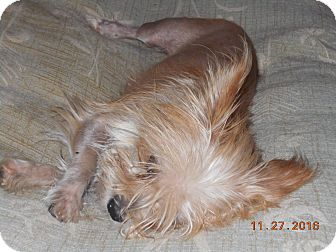 Yorkie, Yorkshire Terrier/Silky Terrier Mix Dog for adoption in haslet, Texas - max