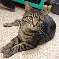 Domestic Shorthair Cat for adoption in Anderson, Indiana - Walter