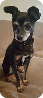 Chihuahua Mix Dog for adoption in Oakland, Michigan - Blackie