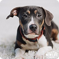 Adopt A Pet :: Chili - Portland, OR