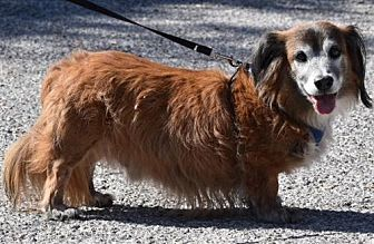 Dachshund Mix Dog for adoption in Humble, Texas - Traylor