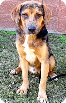 Catahoula Mix Shepherd Dog Breed http://www.adoptapet.com/pet/8182986-quakertown-pennsylvania-catahoula-leopard-dog-mix