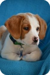 Retriever (Unknown Type)/Beagle Mix Puppy for adoption in Minneapolis, Minnesota - Ethan