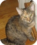 Domestic Shorthair Cat for adoption in Colorado Springs, Colorado - K-Marilyn5-Mary