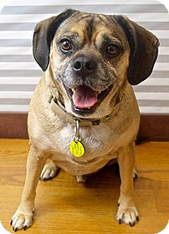 Pug/Beagle Mix Dog for adoption in North Olmsted, Ohio - Maverick