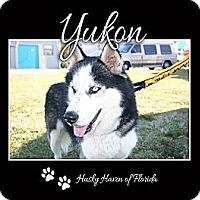 Adopt A Pet :: Yukon - Clearwater, FL