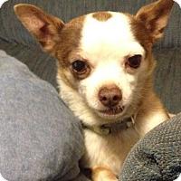 Adopt A Pet :: Spock - Las Vegas, NV