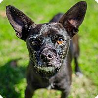 Adopt A Pet :: Paulito - Houston, TX