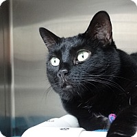 Adopt A Pet :: Mrs. Flufflas - Elyria, OH