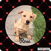 Adopt A Pet :: Rose - Livermore, CA