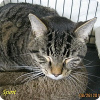 Domestic Shorthair Cat for adoption in Chisholm, Minnesota - Spirit