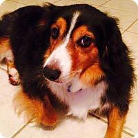 Adopt A Pet :: Jackson - MINI AUSSIE - Mesquite, TX