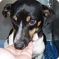 Dachshund/Beagle Mix Puppy for adoption in Zanesville, Ohio - 47544 Honey
