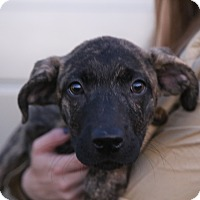 Plott Hound/Boxer Mix Puppy for adoption in Manassas, Virginia - Emmy