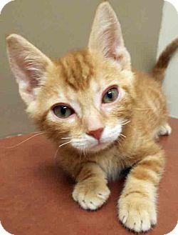 Domestic Shorthair Kitten for adoption in Plainfield, Illinois - Walker