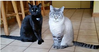 Domestic Shorthair Cat for adoption in Beachwood, Ohio - Carmen & Stanzie-Courtesy Post