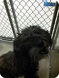 Toy Poodle Dog for adoption in Petaluma, California - Nicky - 21537